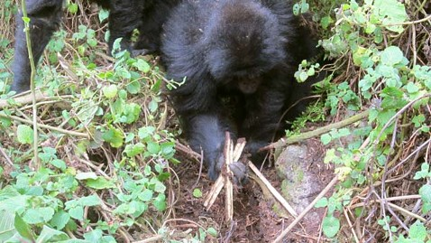 Baby gorillas were seen dismantling poacher traps.