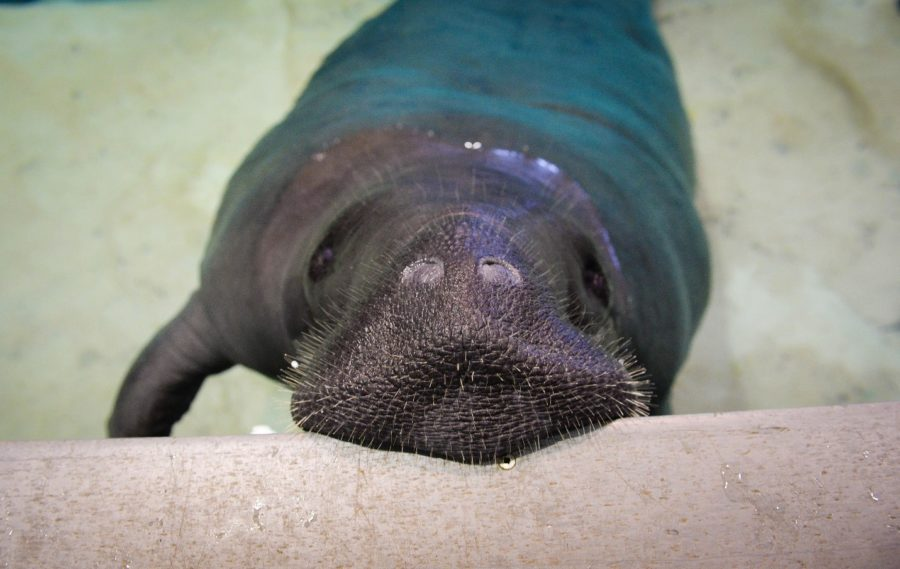 Deaths of Fla. manatees break state records