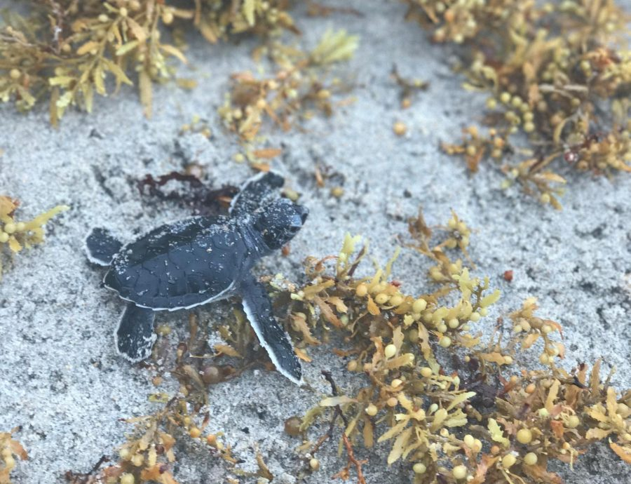 A baby turtle making its way to the ocean.